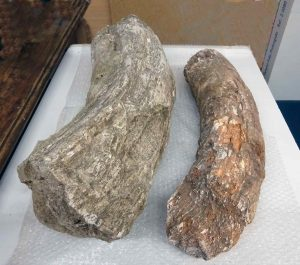 Fragments de l'ullal de mamut trobat per Àngel Sallent i Joan Cadevall. Arxiu: Museu de Terrassa.
